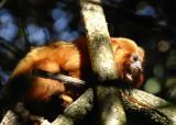 Golden Lion Tamarin 3,  The Pantanal