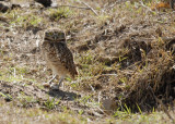 Burrowing Owl w/dinner, The Pantanal