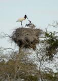 Jaribu Stork nest w/young , The Pantanal