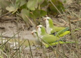 Monk Parakeets , The Pantanal