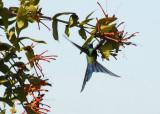 Swallow-tailed Hummingbird , The Pantanal