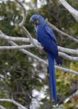 Hyacinthin Macaw , The Pantanal