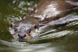 Otter (Utter)