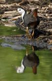 061 - White-breasted Waterhen