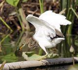 010 - Javan Pond Heron