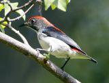 052 - Scarlet-Backed Flowerpecker (male)