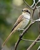 035 - Brown Shrike (juvenile)