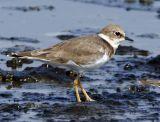 086 - Little Ringed Plover (non-breeding)