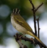 062 - Eastern Crowned Warbler   (not sharp)