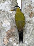 100 - Streak-throated Woodpecker (female)