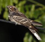 099 - Large-tailed Nightjar