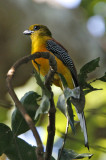 101 ::Orange-breasted Trogon::