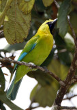104 - Blue-winged Leafbird (male)
