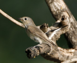 103 - Tagia Flycatcher