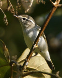 108 - Two-Barred Warbler