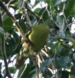 110 - Thick-billed Green Pigeon (male) (not sharp)