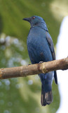 018 - Asian Fairy Bluebird (female)