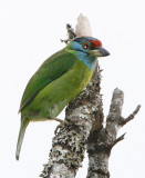 113 - Blue-throated Barbet