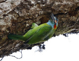 115 - Blue-eared Barbet