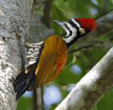 121 - Common Flameback