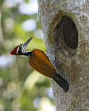122 - Greater Flameback (male)