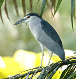 125 - Black-crowned Night Heron @ 1400mm