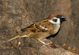 063 - Eurasian Tree Sparrow