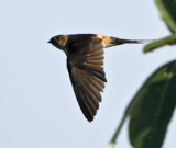 127 - Red-rumped Swallow