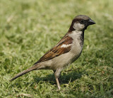 129 - House Sparrow (adult)