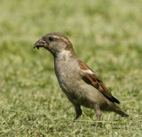 129 - House Sparrow (juvenile)