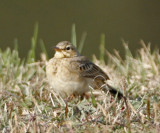 Pipit, Paddyfield or Richard's