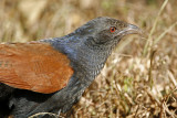 132 - Greater Coucal (juvenile)