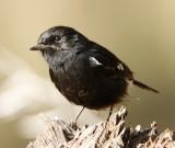 134 - Pied Bushchat (male)