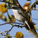 133 - Grey Bushchat (male breeding)