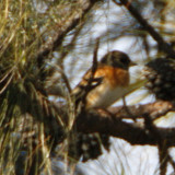 130 - Brambling (not sharp)