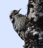 140 - Grey-capped Pygmy Woodpecker