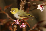 143 - Chestnut-flanked White-eye