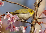 145 - Japanese White-eye
