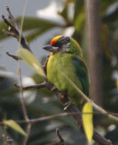 146 - Golden-throated Barbet