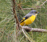 148 - Long-tailed Minivet (female)
