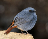 150 - Plumbeous Water Redstart (male)