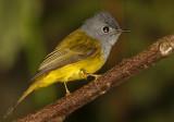 153 - Grey-headed Canary Flycatcher