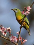 158 - Orange-bellied Leafbird (female)