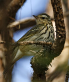 161 - Olive-backed Pipit