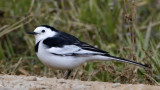 162 - White Wagtail