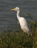 167 - Cattle Egret