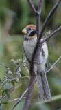 170 - Spot-breasted Parrotbill (not sharp)