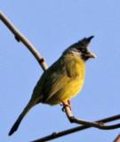 171 - Crested Finchbill (not sharp)