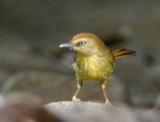 175 - Striped Tit Babbler (not sharp) ?