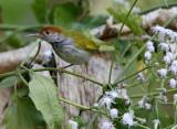 176 - Dark-necked Tailorbird ?
